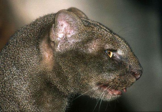 01-jaguarundi