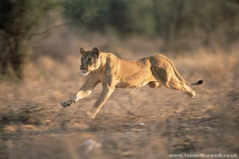 05-lioness-runningbody