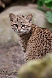 Do Bobcats Get Along With Domestic Cats