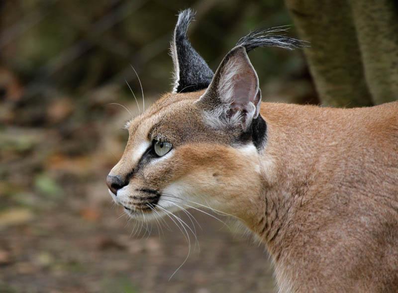 Wild Cats The Caracal Kimcampion Com