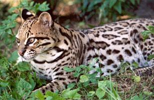 Asian leopard pics