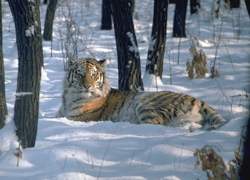 4-amur-tiger-sitting