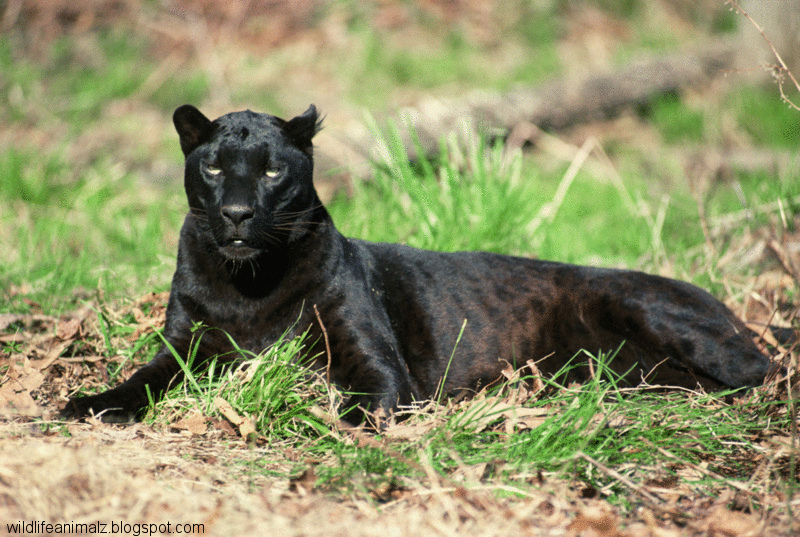 Black Leopard Best Shot