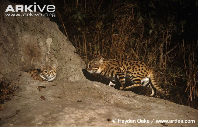 Black-footed-cats-at-den