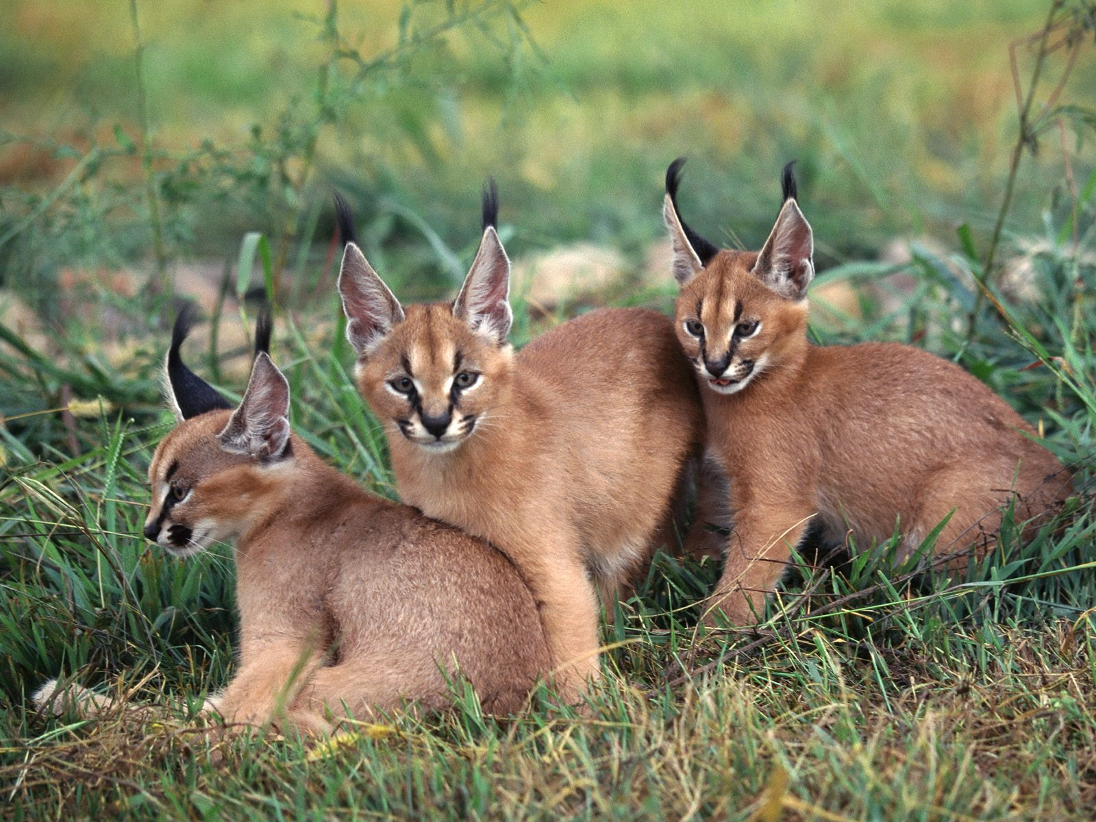 Wild Cats The Caracal Kimcampion Com