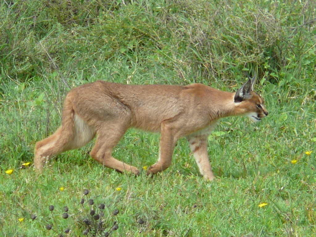 Caracal_hunting_in_the_serengeti