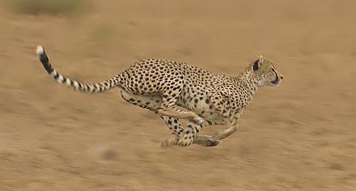 Cheetah-2a