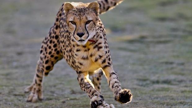 Cheetah_AP