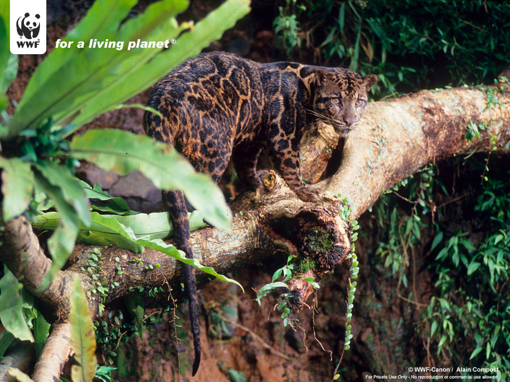 Clouded-Leopard-Wallpaper-43
