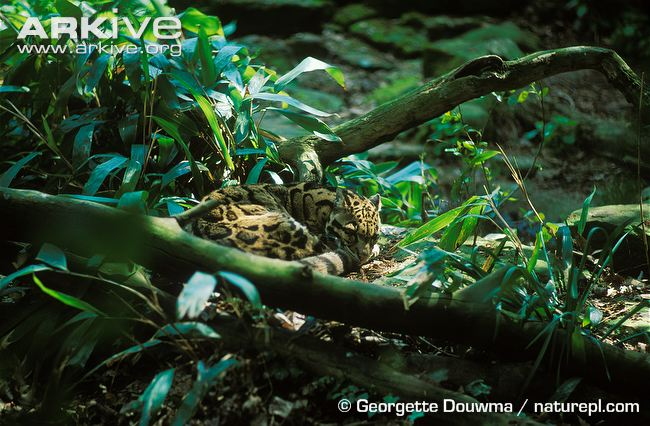 Clouded-leopard-resting