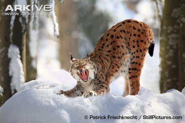 Eurasian-lynx-stretching-and-yawning