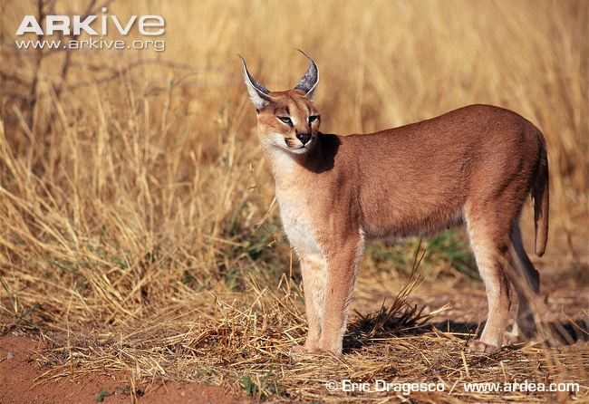 Female-caracal