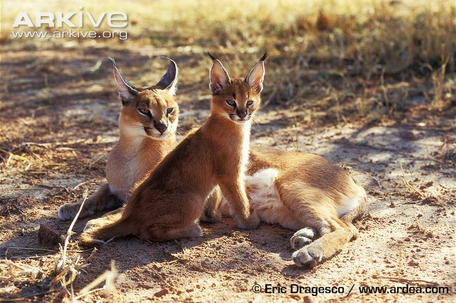 Photo from ARKive of the Caracal (Caracal caracal) - http://www.arkive.org/caracal/caracal-caracal/image-G34281.html