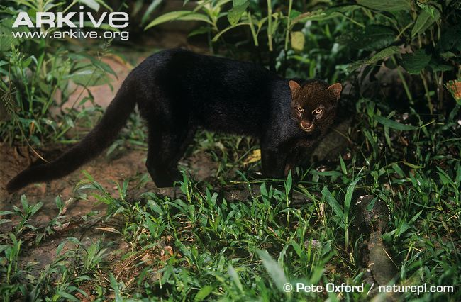 Jaguarundi-black-morph