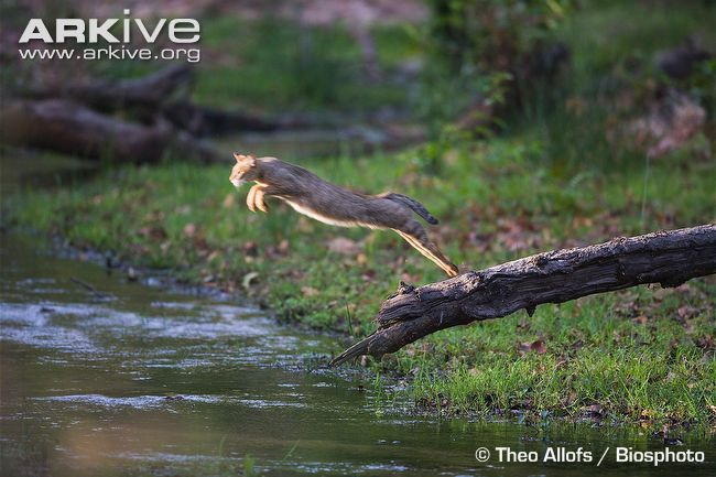 Jungle-cat-jumping-off-fallen-tree-trunk