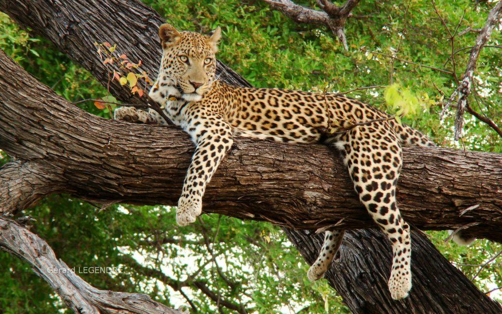 Leopard-97
