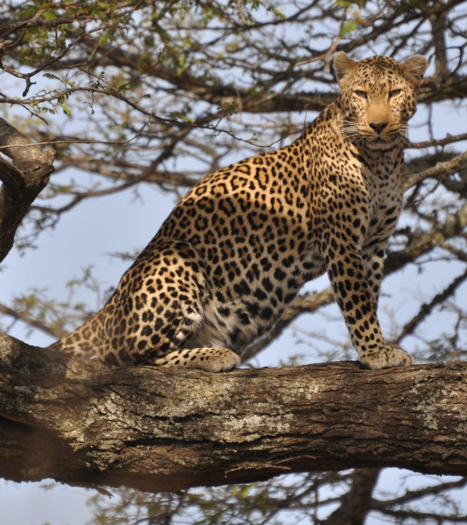 Leopard_standing_in_tree_2