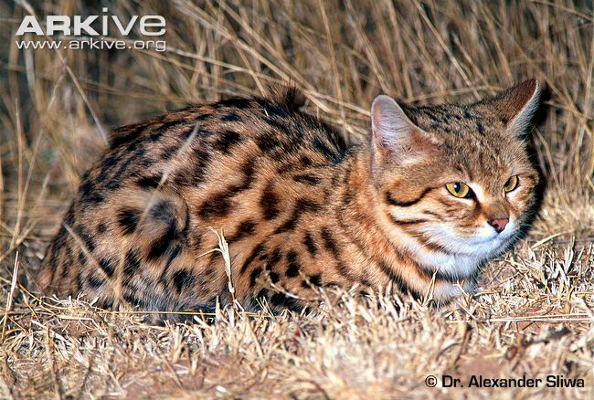 Male-black-footed-cat-