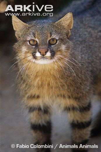 Pampas-cat-