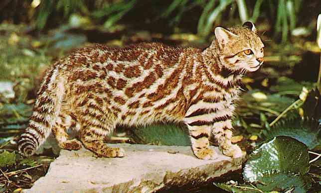 Pampas_Cat