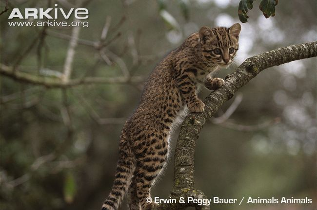 Young-geoffroys-cat-on-branch