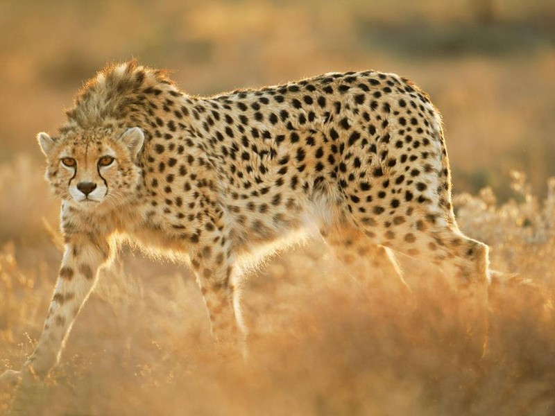 asiatic-cheetah