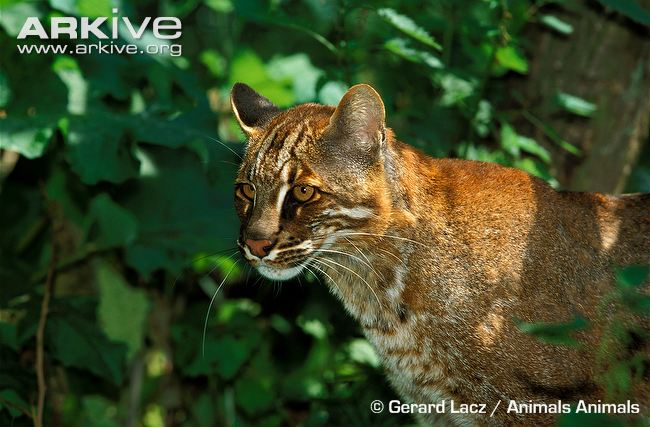 asiatic-golden-cat-portrait
