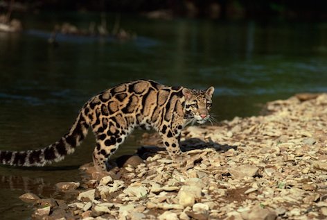 Wild Cats The Clouded Leopard And The Sunda Clouded