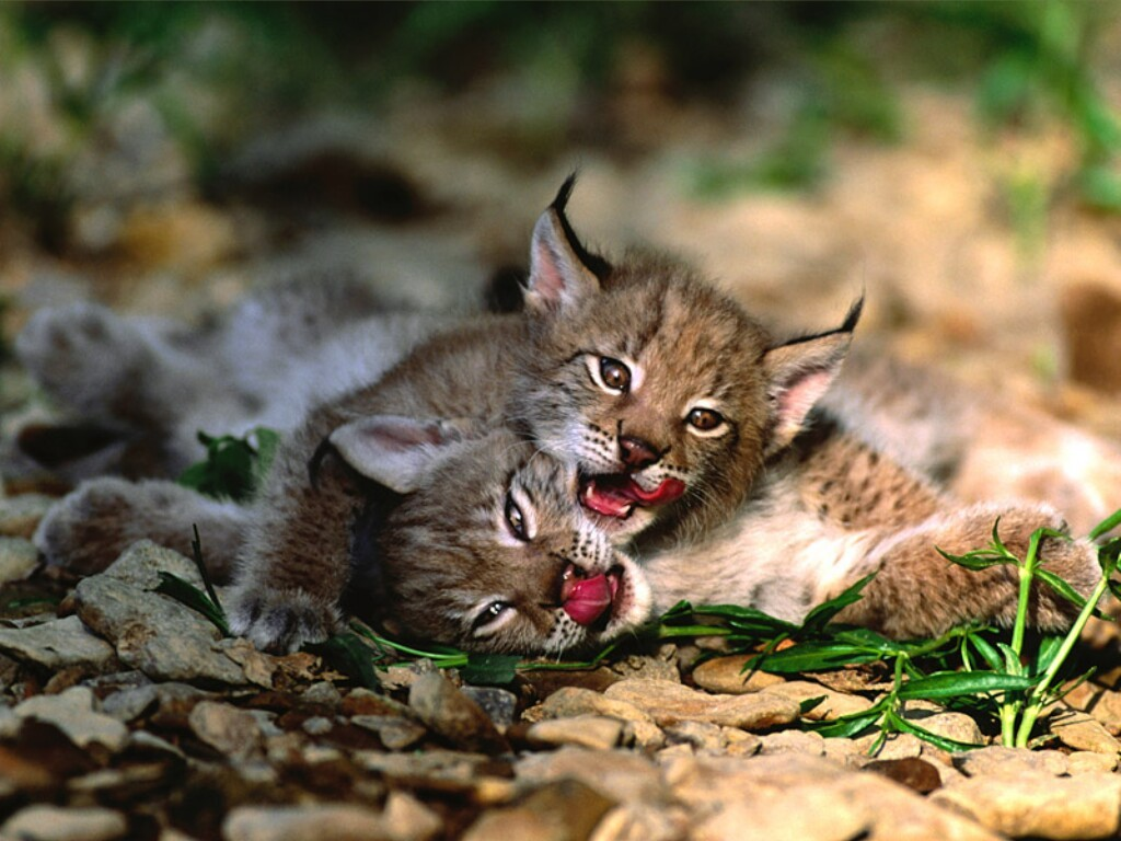 eurasian-lynx-high-definition-47