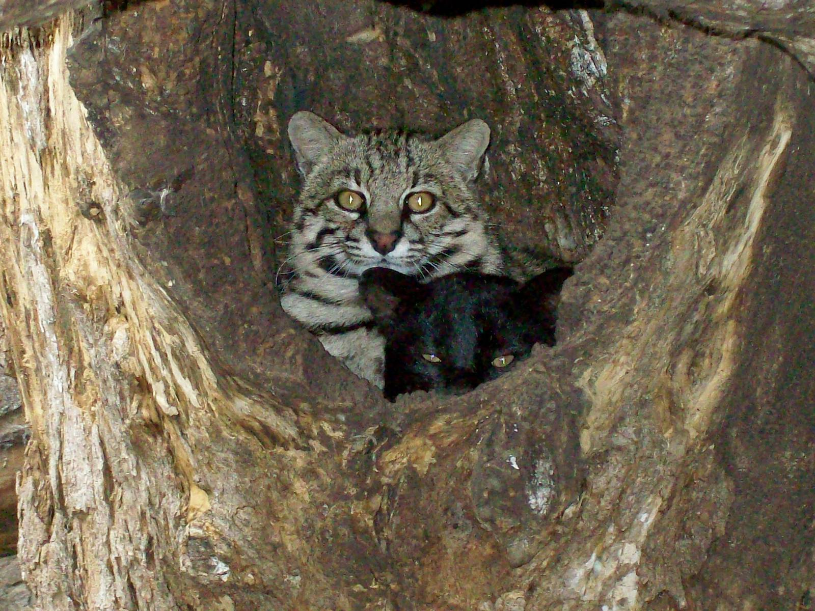 Black Geoffroy Cat