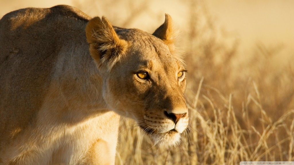hunting-lioness_00443932
