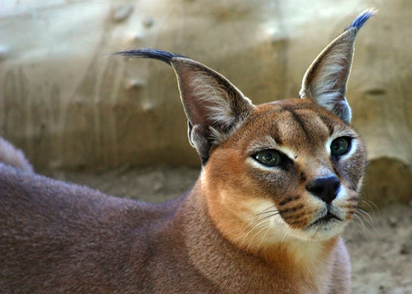 wild cats the caracal � kimcampioncom