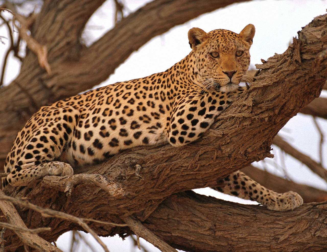 Wild Cats: The Leopard – kimcampion.com