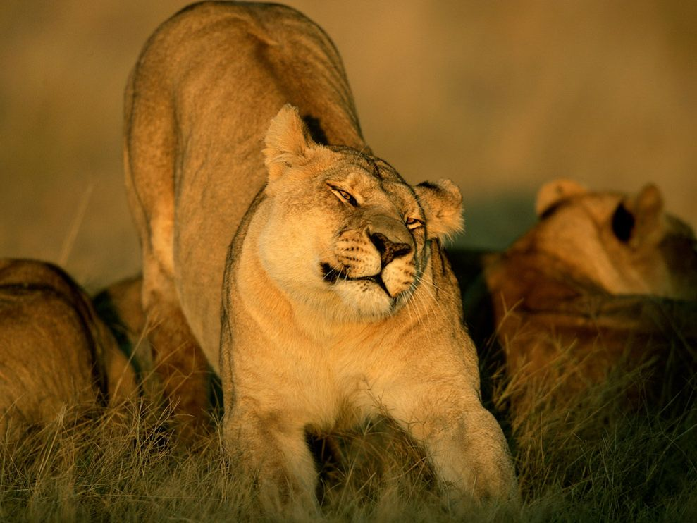 lioness-stretching_611_990x742