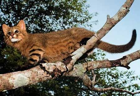 pampas-cat-climbing-tree