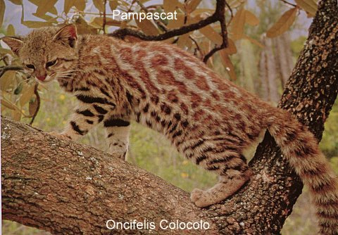pampascat3
