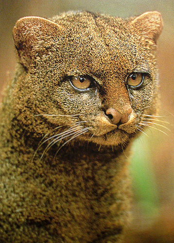 portrait_jaguarundi