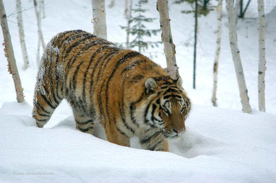 siberian_tiger_by_ticoun-d4rm01z