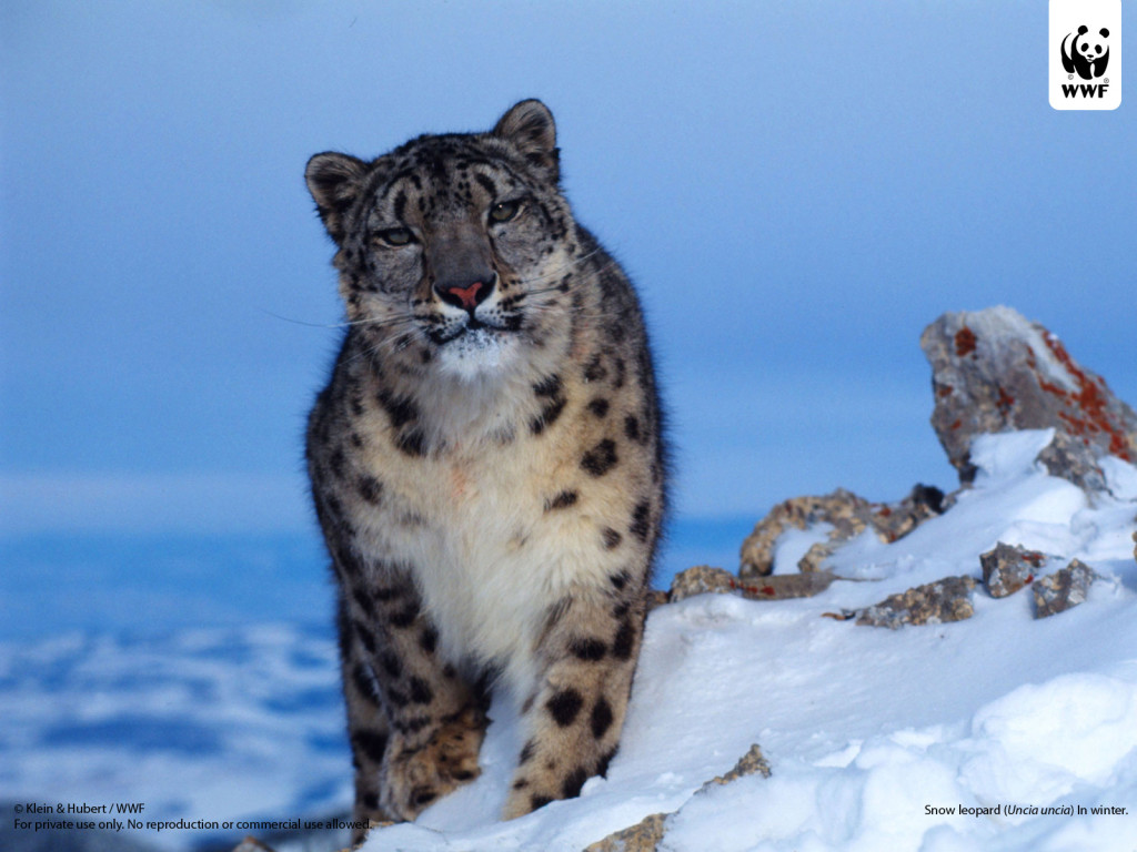 snow_leopard_wwfwallpaper