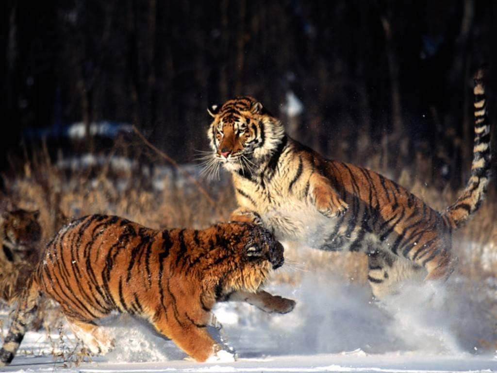standing_ground_tigers_alaska2