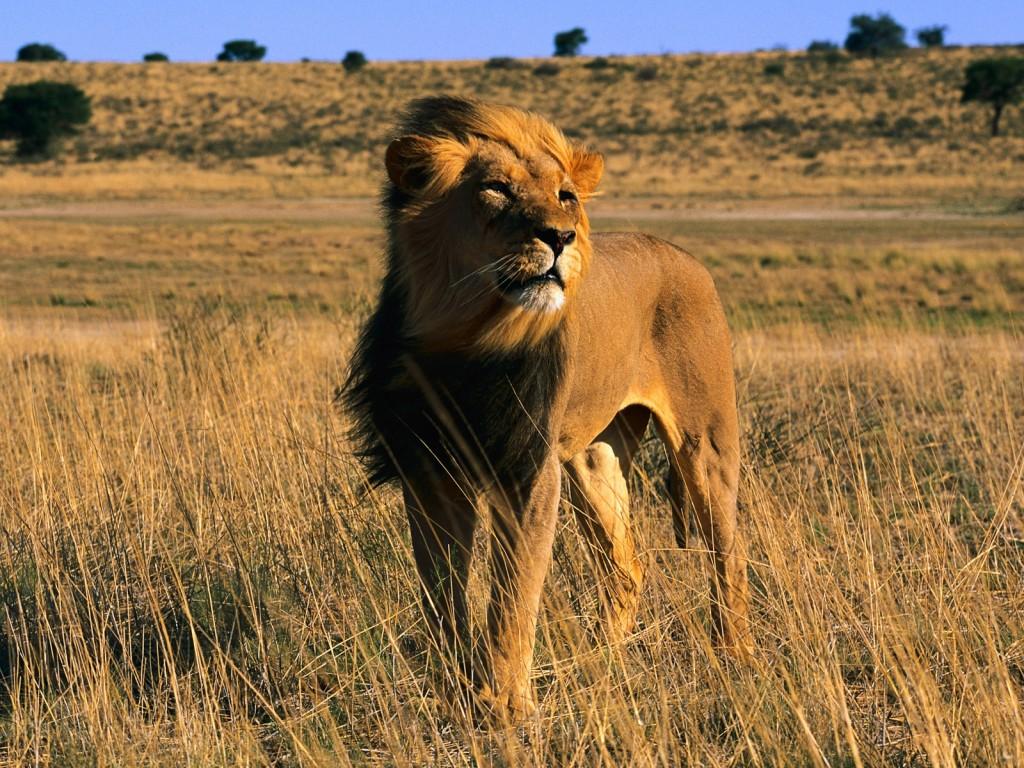 wild_lion-1600x1200