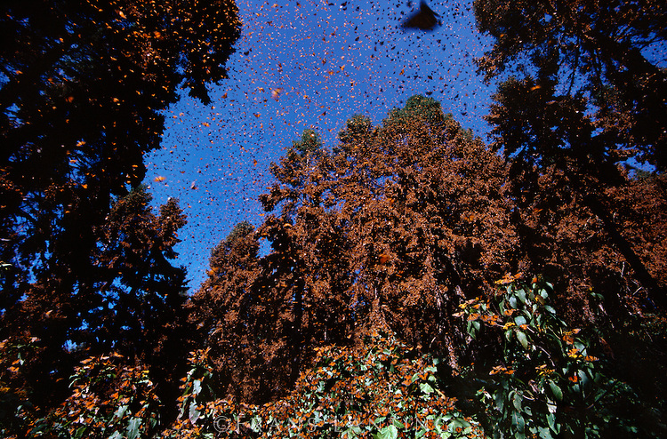 Monarch butterfly colony at wintering grounds, Danaus plexippus, Michoacan, Mexico