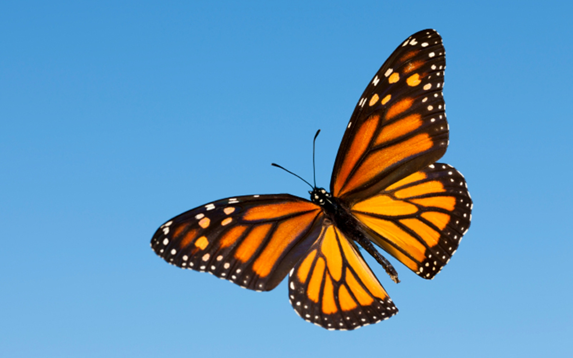 The Incredible Life Cycle of the Monarch Butterfly ...