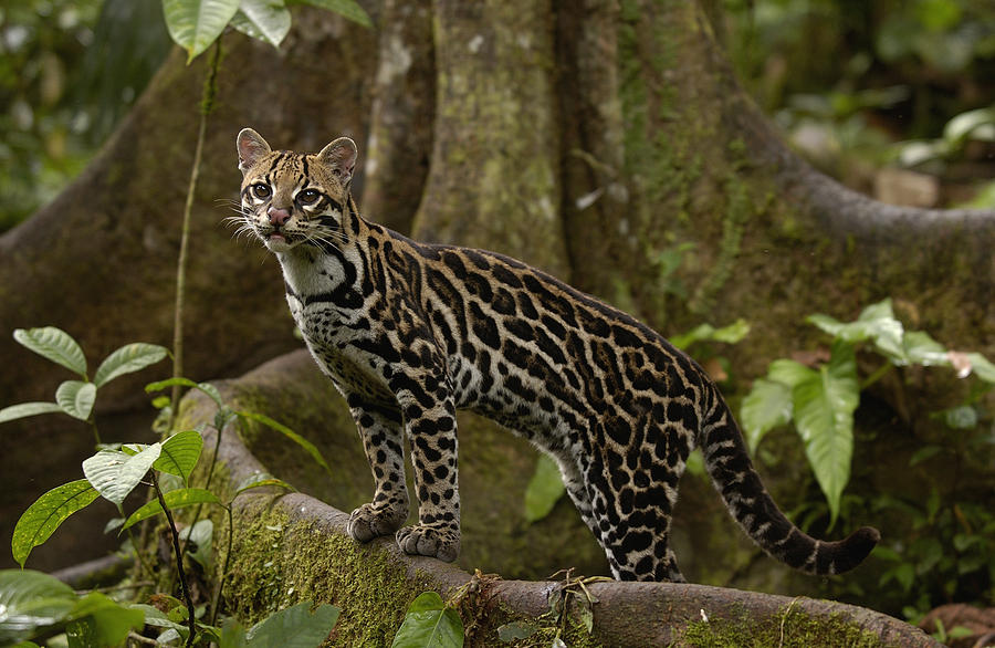 2-ocelot-leopardus-pardalis-standing-pete-oxford
