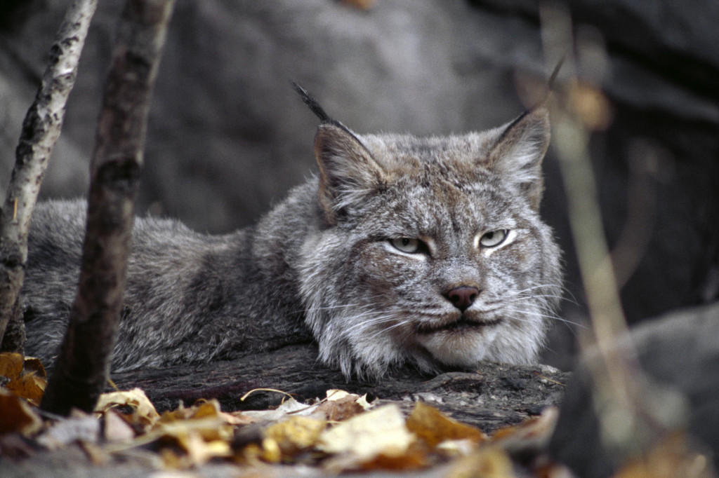 Canadian-Lynx-animals-13129095-2000-1333