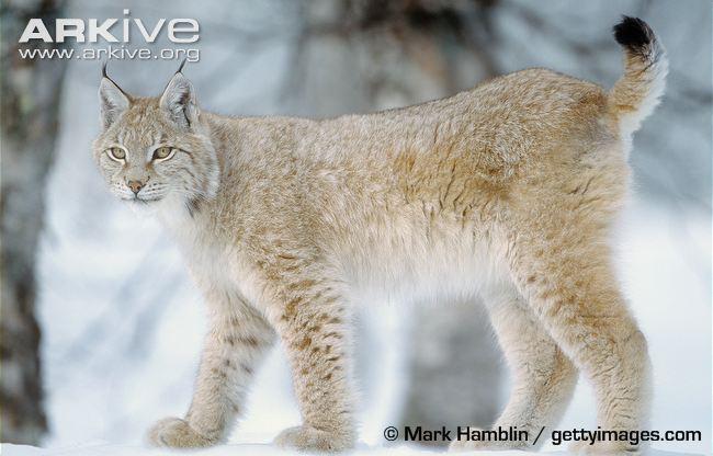 Eurasian-lynx-juvenile