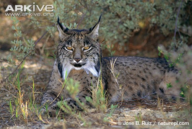 Iberian-lynx-at-rest
