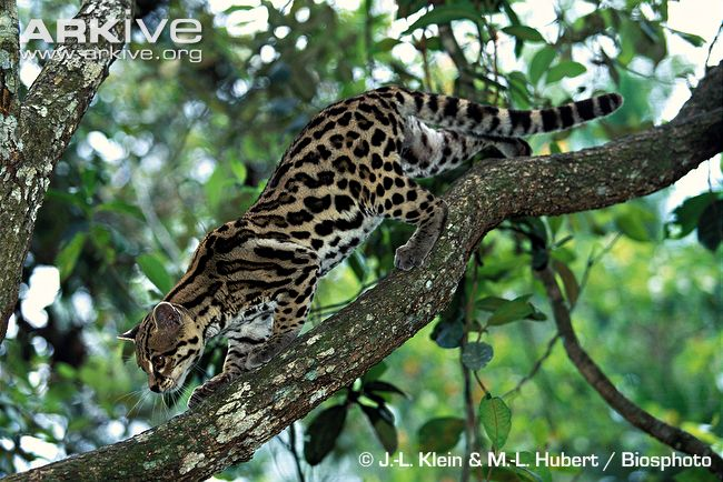 Margay-climbing-down-from-a-tree