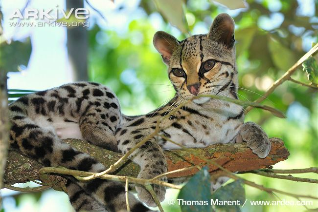 Margay-resting-on-a-branch