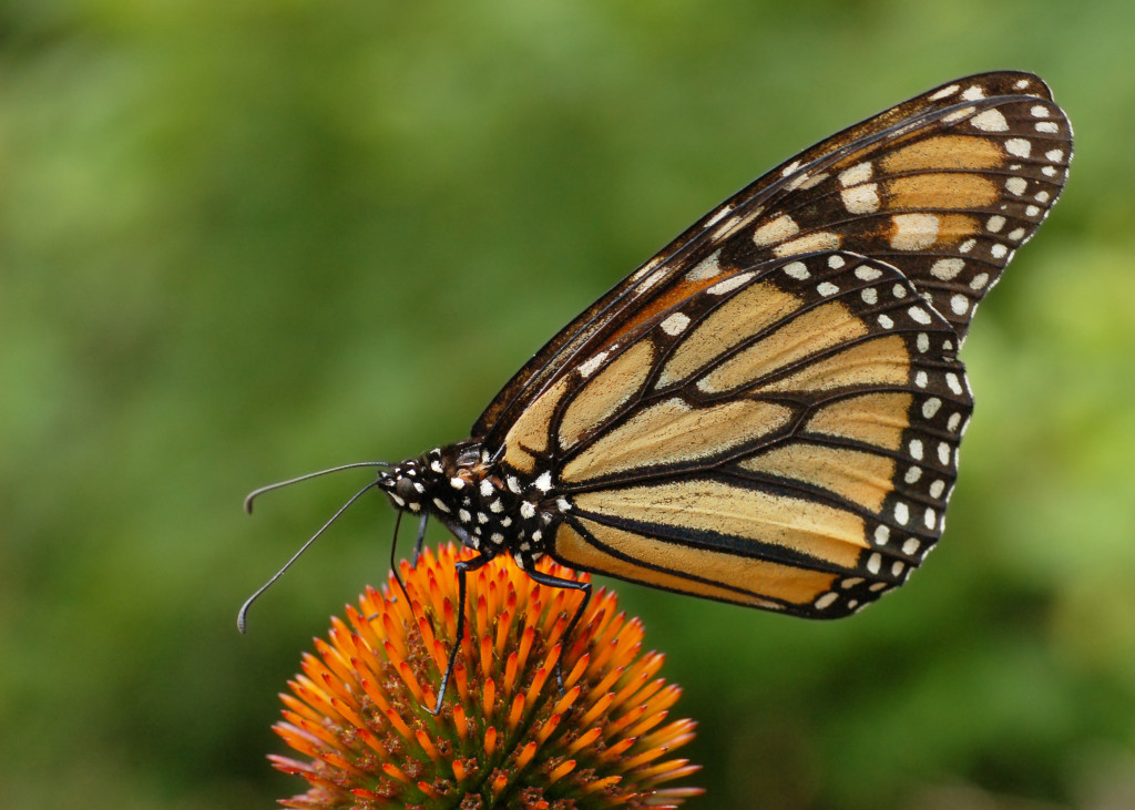 Monarch_Butterfly_Danaus_plexippus_on_Echinacea_purpurea_2800px